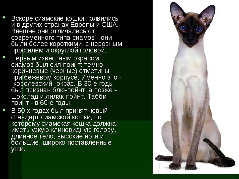 Сиамская кошка: 150 фото, стандарты породы, цена котенка, характер и возможные болезни