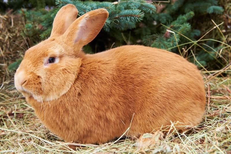 Востребованные кролики в мире: чем славится бургундская порода и почему нужно выращивать именно их