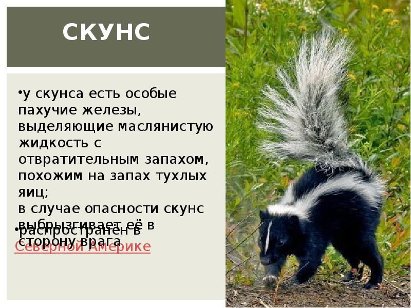 Восточный пятнистый скунс | описания и фото животных | некоммерческий учебно-познавательный интернет-портал зоогалактика