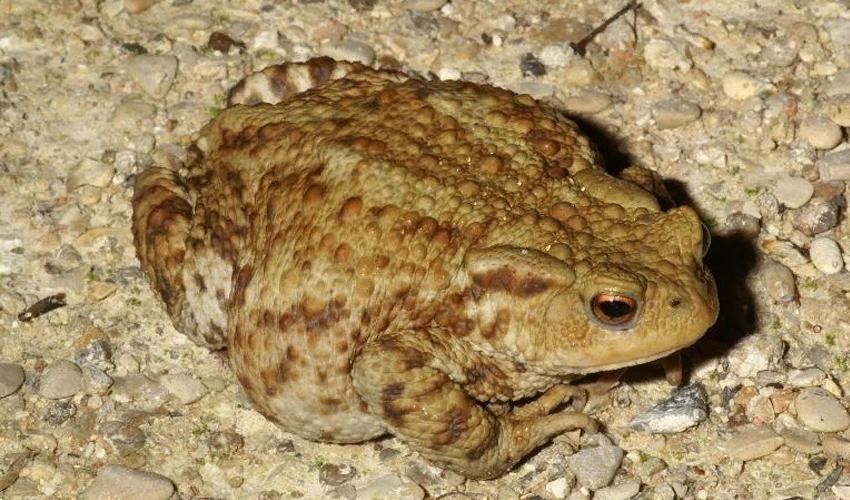 Зеленые лягушки: озерная, прудовая и съедобная