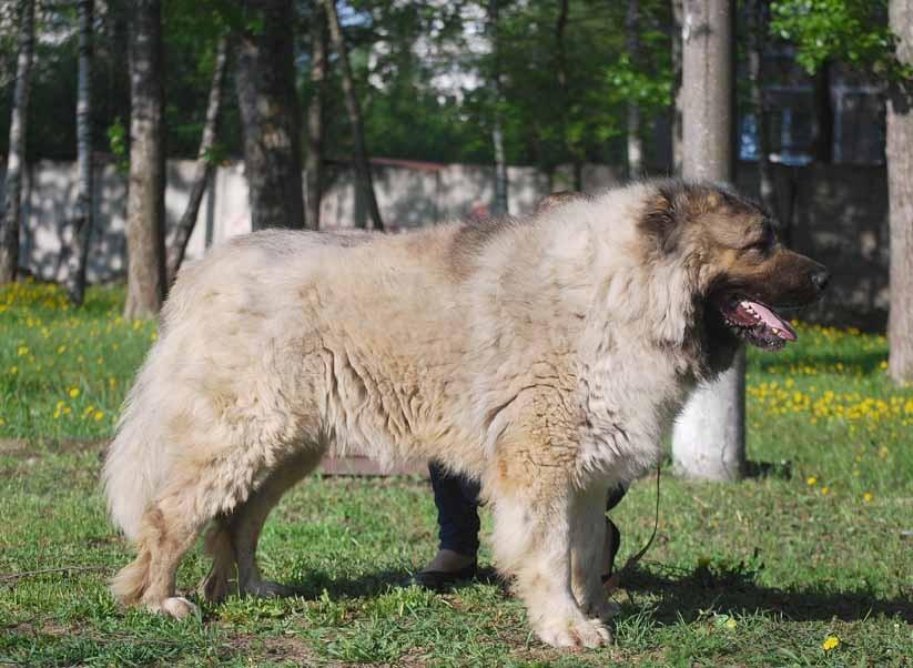 Все о кавказской овчарке: характеристика породы, стандарты и внешний вид, характер и поведение, уход, дрессировка и воспитание