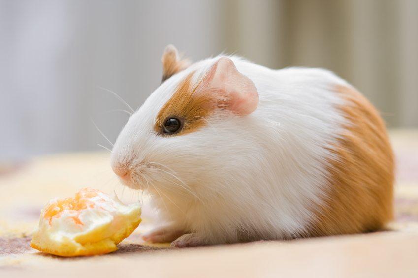 Можно ли давать морским свинкам черешню