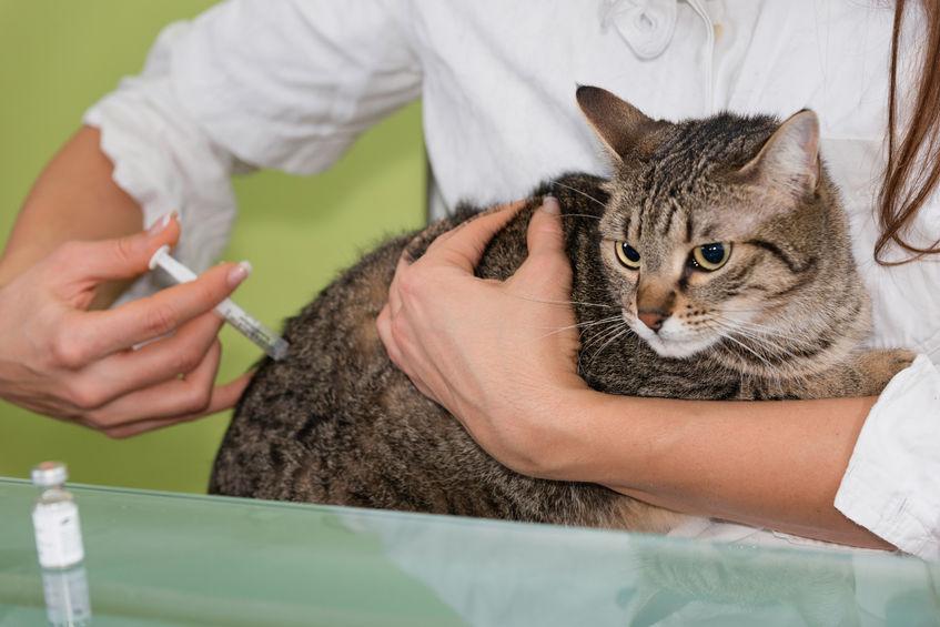 Кот отравился - что делать в домашних условиях, когда обратиться к ветеринару