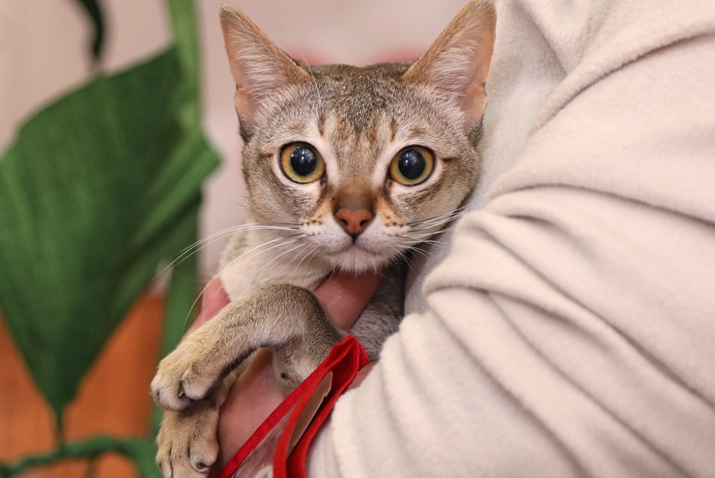Сингапурская кошка - описание породы от а до я + 120 фото. полное описание внешности и характера сингапурской кошки