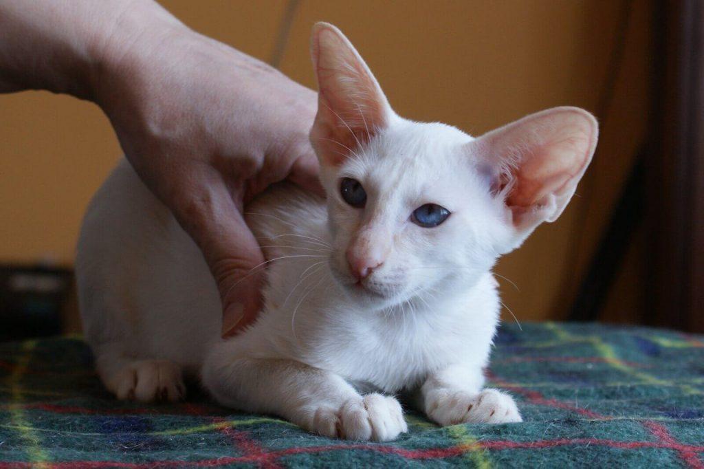 Ориентальная порода кошек: фото, стандарты, описание характера, отзывы