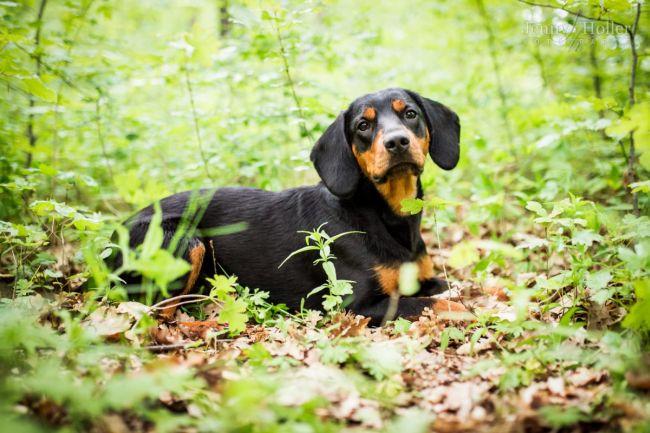 Порода собак словацкий копов
