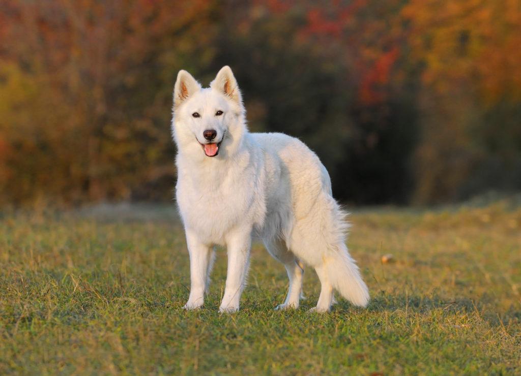 Белая швейцарская овчарка: содержание дома, фото, купить, видео, цена