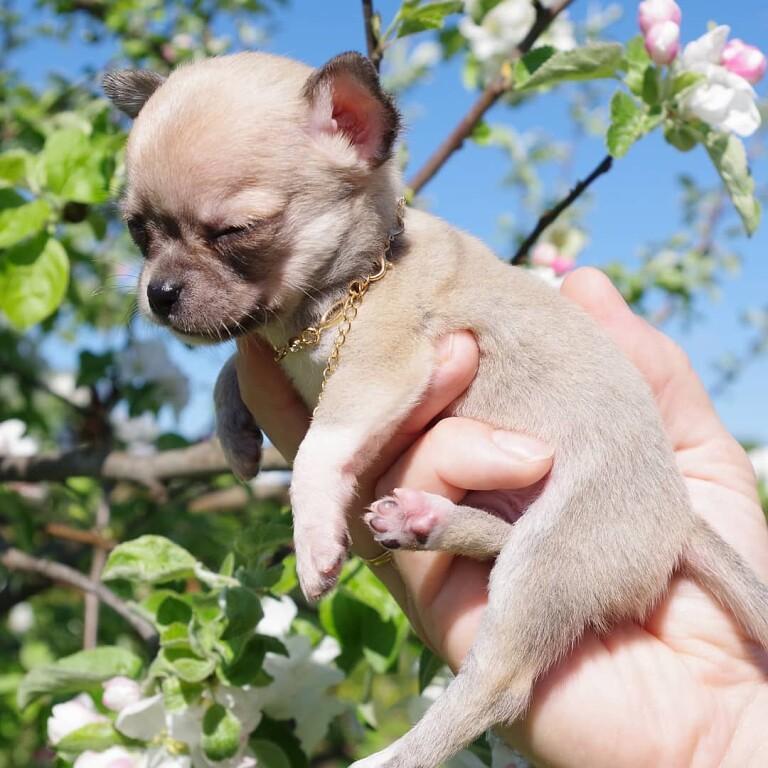 ᐉ собачка породы чихуахуа: особенности и фото уникальных мини-собак - zoovet24.ru