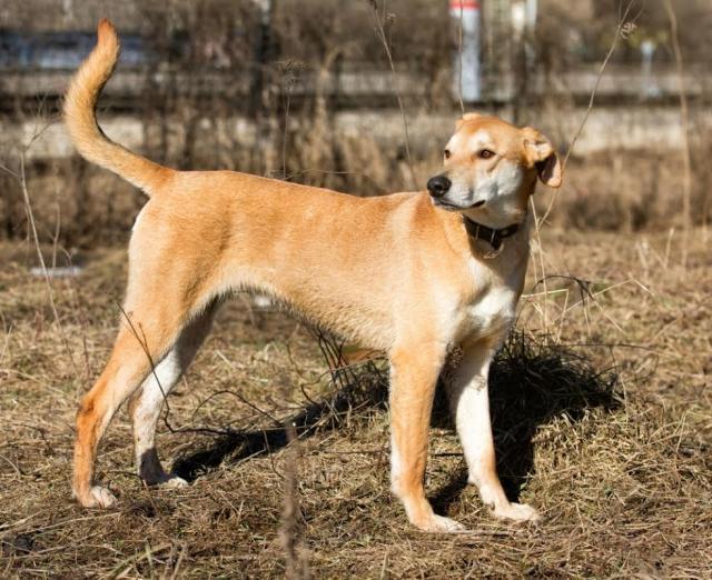 Характеристика собак породы русская гончая с отзывами и фото