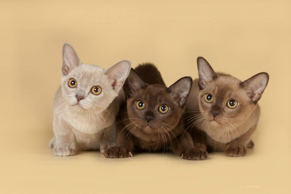 Как выбрать друга по характеру? самые спокойные породы кошек - кошовед
