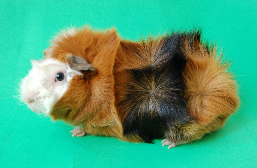 Можно ли морским свинкам есть цитрусовые
