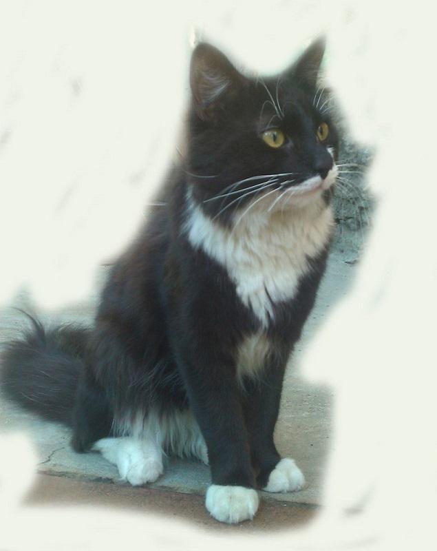 Порода кошек коричнево белого окраса