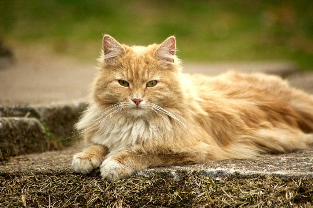 Норвежская лесная кошка ???? фото, описание, характер, факты, плюсы, минусы кошки ✔