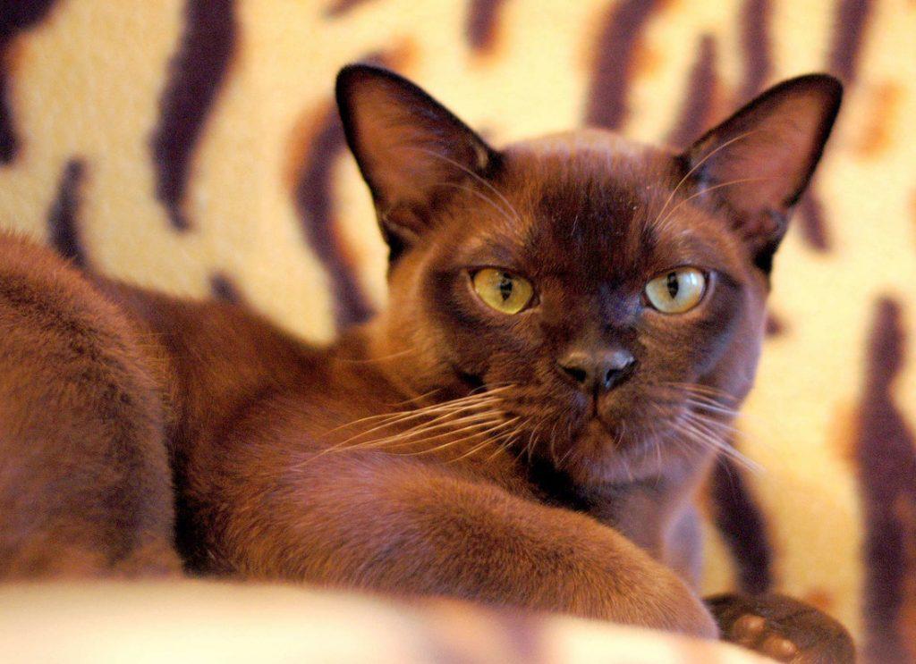 Бурманская кошка (45 фото): цена, характер, история, уход и содержание дома, интересные факты о породе