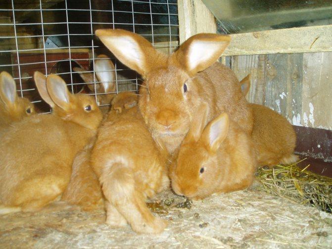 Новозеландские кролики белые и красные - характеристики породы