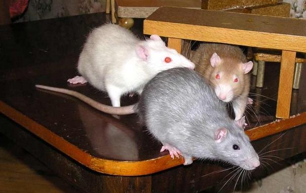 Мышка как домашний питомец для детей