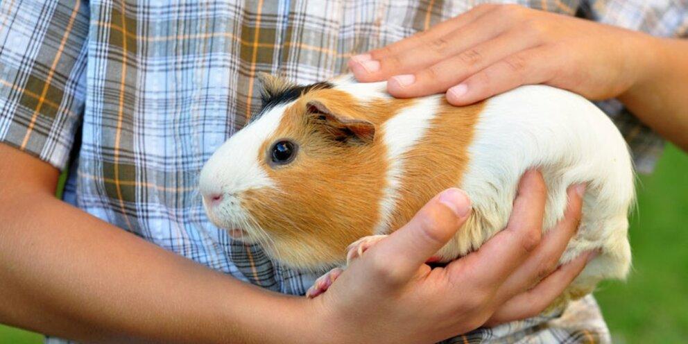 Сколько живут морские свинки в домашних условиях, как определить возраст питомца