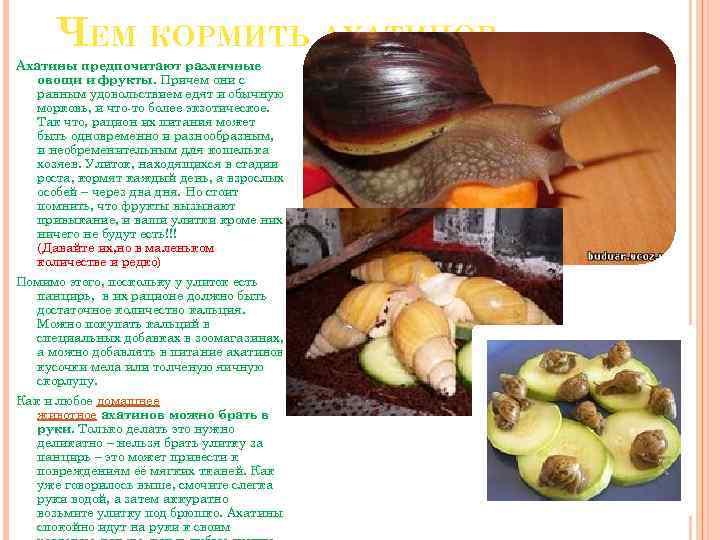 Чем кормить улиток ахатин, что едят улитки, список продуктов
