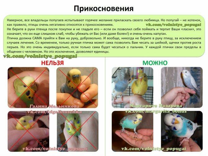 Как приручить волнистого попугая к рукам, если он боится