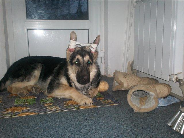 Когда встают уши у щенка немецкой овчарки?  почему не встают уши? (wolcha)