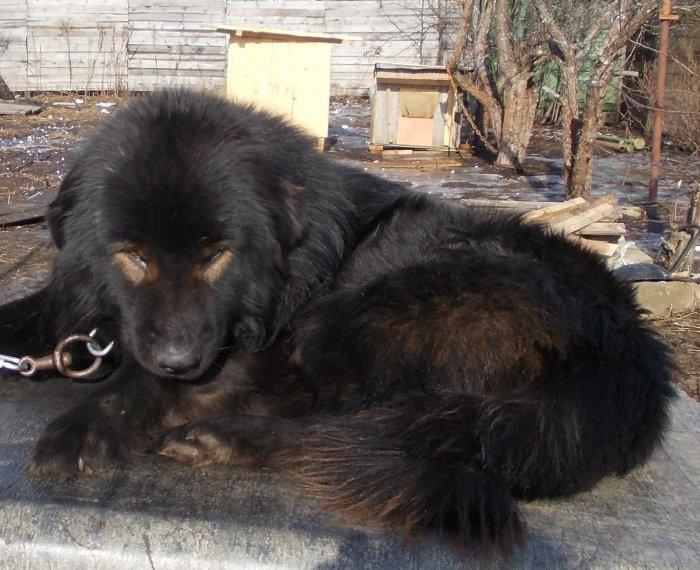 ᐉ монгольская овчарка (банхар): описание и характеристика породы, содержание и уход - kcc-zoo.ru