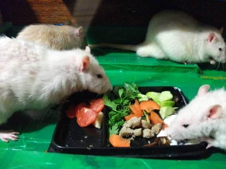 Сатиновая мышь – дружелюбный грызун в атласной шубке