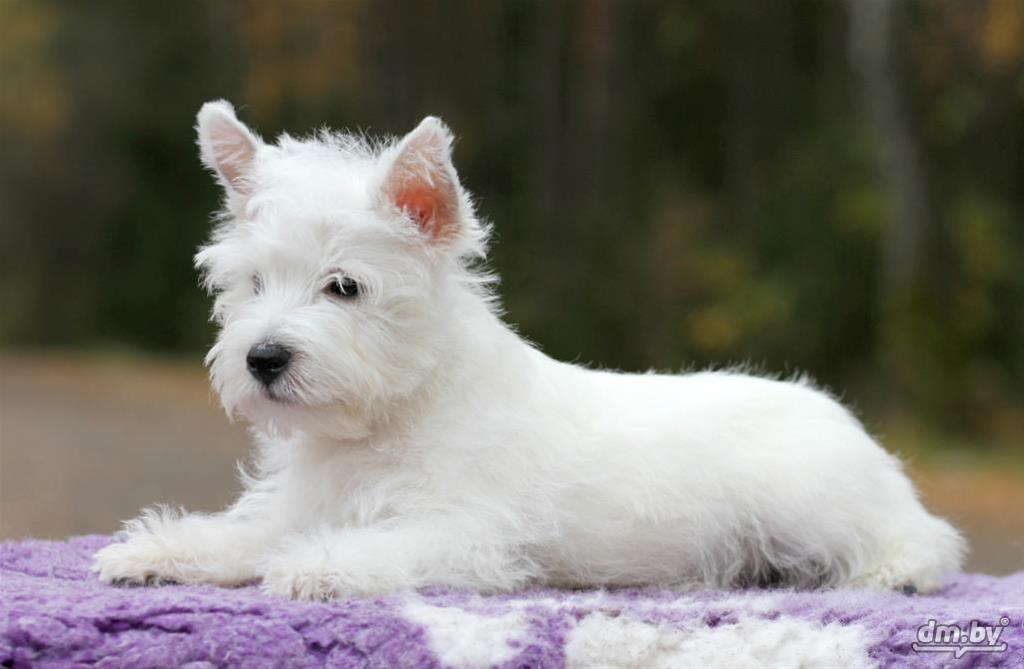Как выбрать здорового щенка вест хайленд уайт терьер и ухаживать за ним