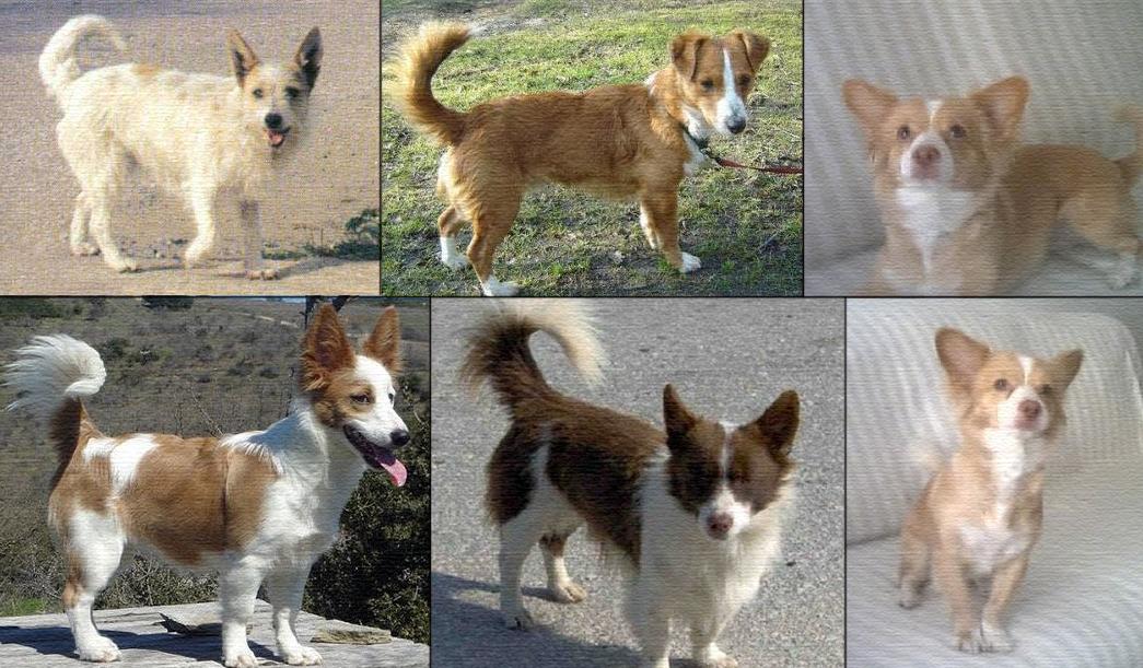 Мелитио кинидио (малая греческая домашняя собака)