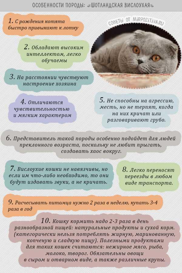 Шотландская вислоухая кошка: описание породы, характер, содержание иуход заскоттиш-фолдом, цена котенка, фото + отзывы