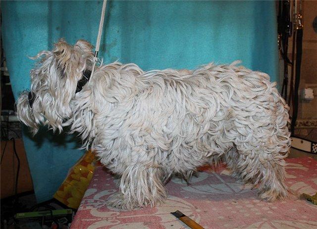 Как отмыть от желтизны белую собаку