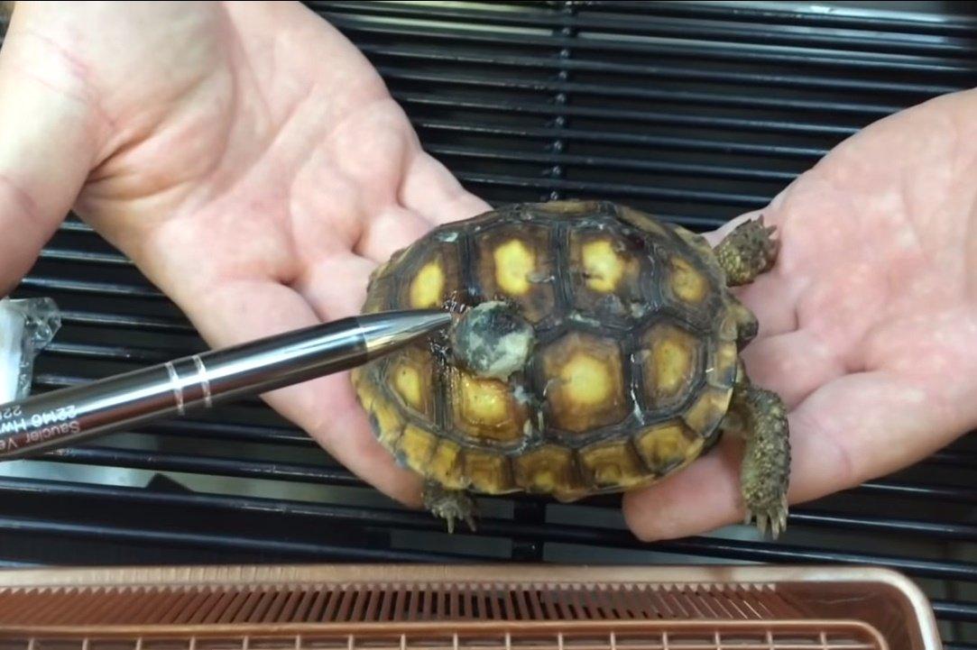 Чем кормить черепах (сухопутных)?