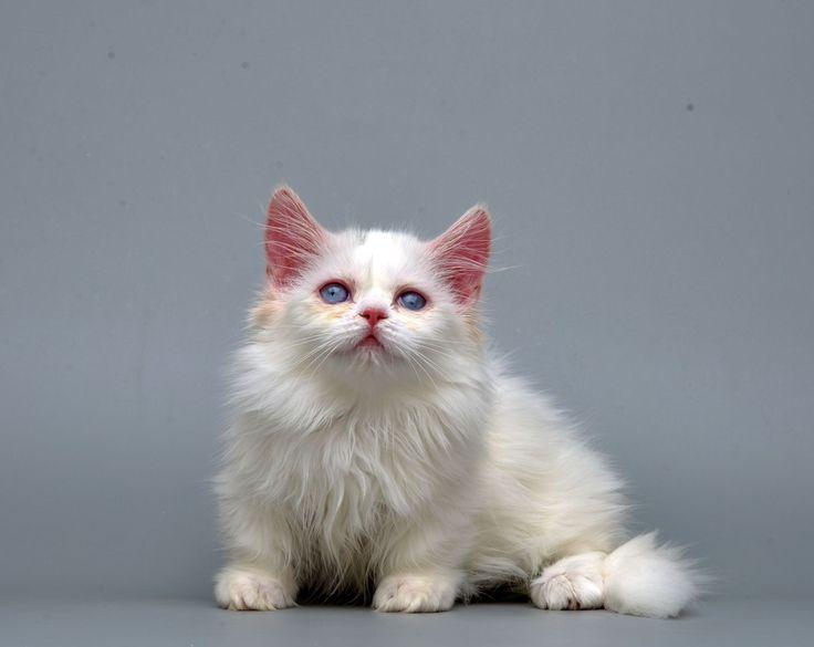 Кошка породы наполеон: описание породы, характер, фото и видео