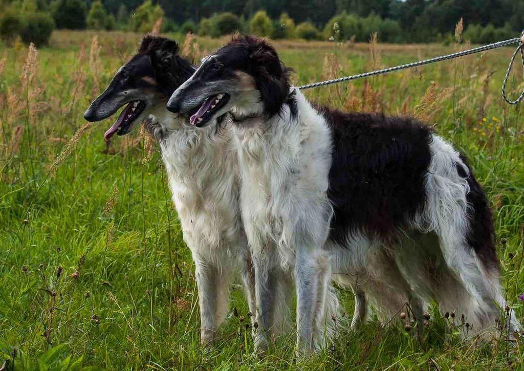 Русская псовая борзая: характеристика и описание породы - моя собака