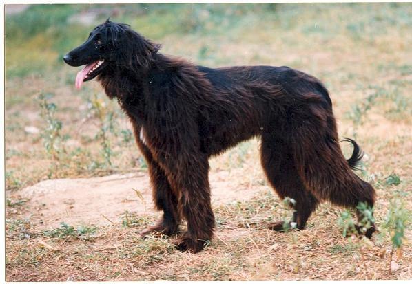 Борзые собаки: описание, популярные породы данной группы.