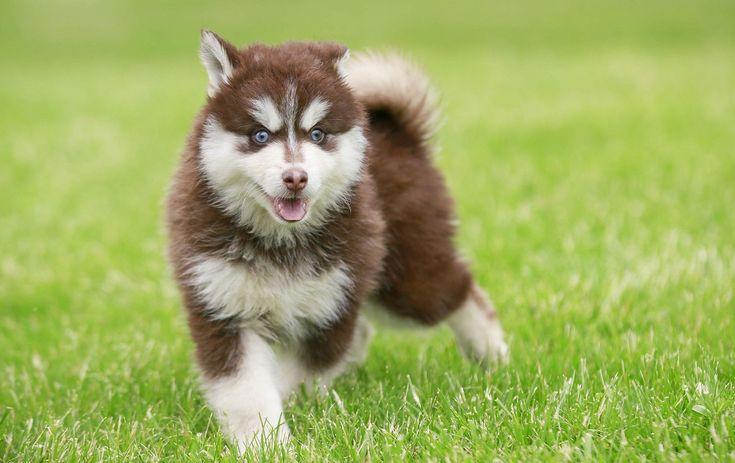 Помски: описание, цена, фото, характер, содержание и уход за породой собак