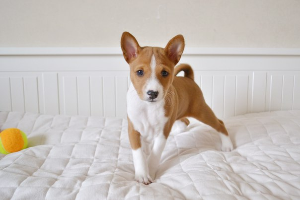 Породы собак которые не линяют — названия с фото