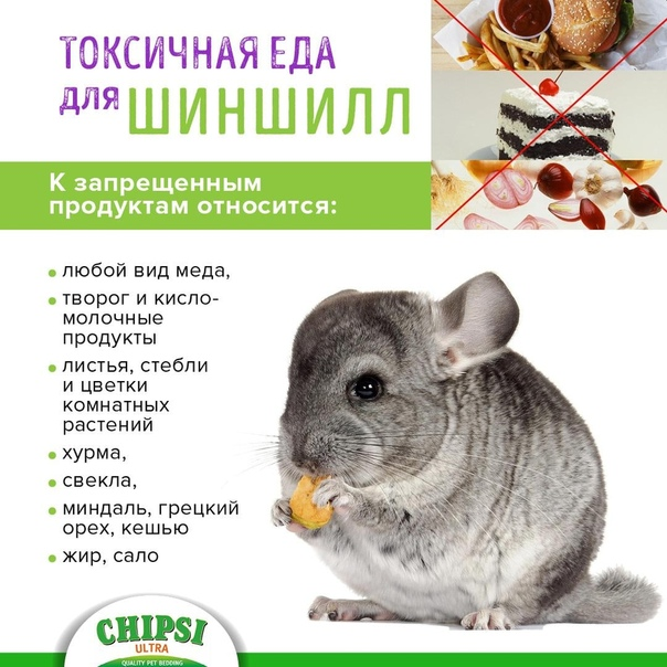 Что едят шиншиллы в домашних условиях: натуральное питание или готовые корма, список разрешенных и запрещенных продуктов, нормы кормления, витамины и добавки