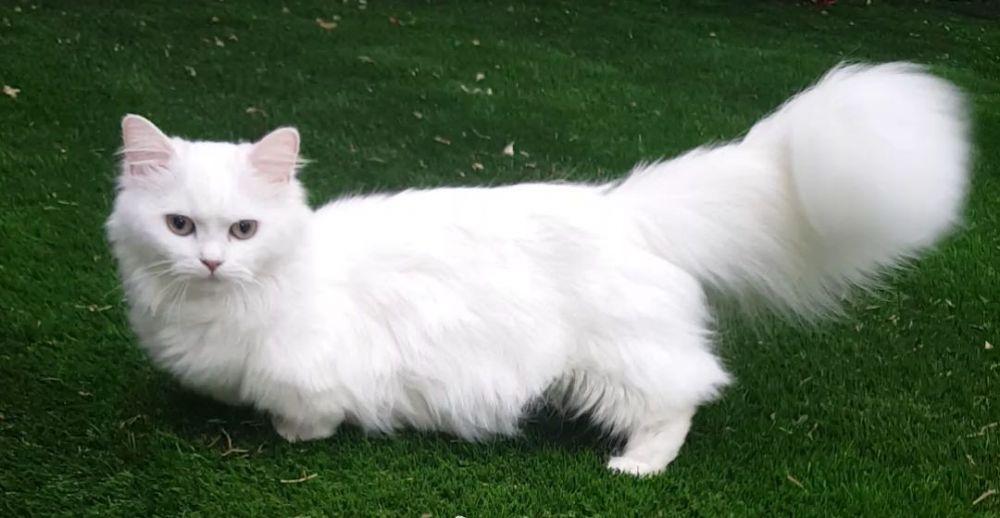 Наполеон кошка (менуэт): подробная характеристика породы кошек от а до я! топ-150 фото + интересные факты о породе
