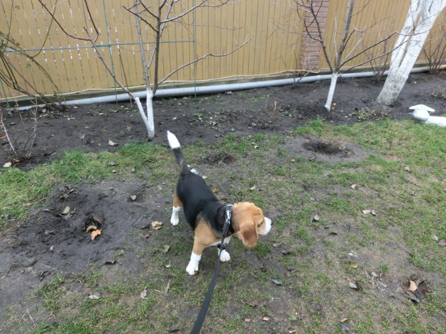 Почему собаки копают ямы, землю, клумбы, грядки, подстилку, пол, в кровати, после родов, как отучить - блог о животных - zoo-pet.ru