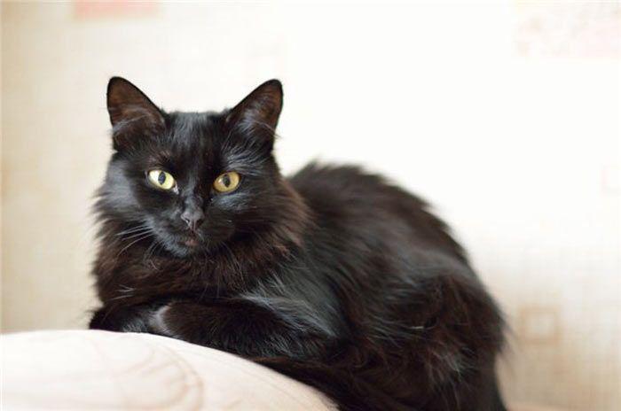 Йоркская шоколадная кошка: описание внешности и характера, уход за питомцем и его содержание, фото кота