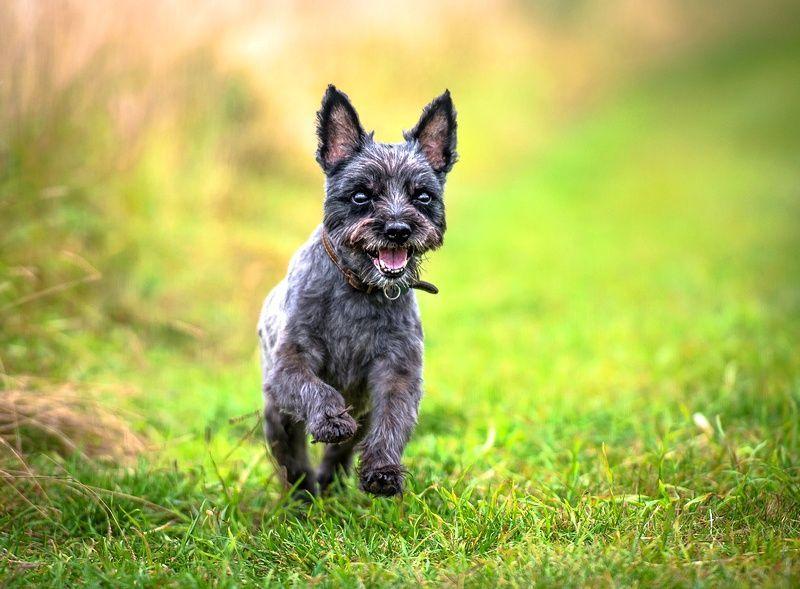 Керн терьер — описание породы собак
