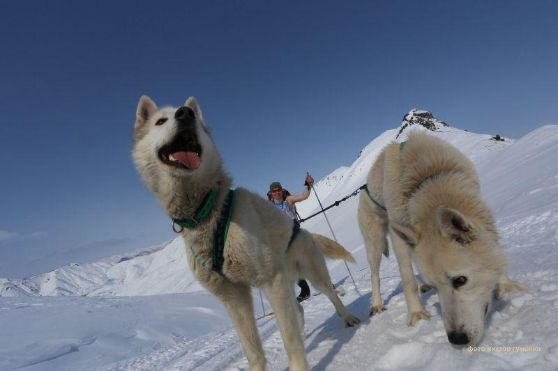 Породы собак для езды в упряжках: количество животных и снаряжение