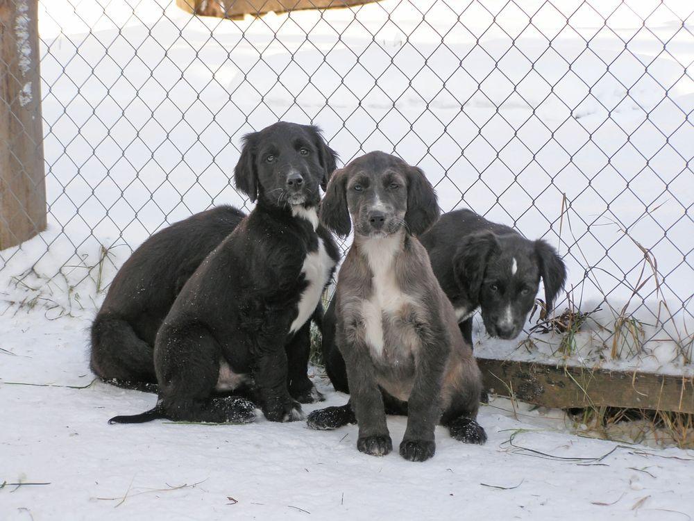 Тайган (киргизская борзая) — описание породы собак