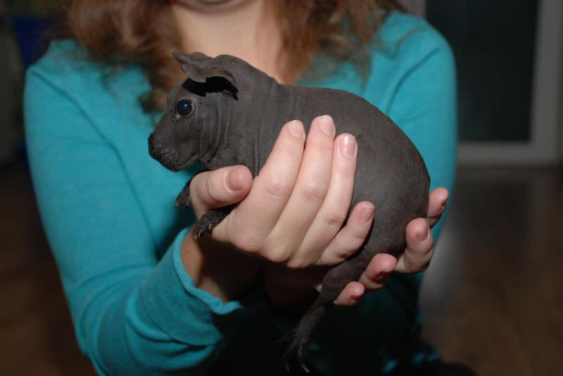 Лысая морская свинка — друг с экзотической внешностью