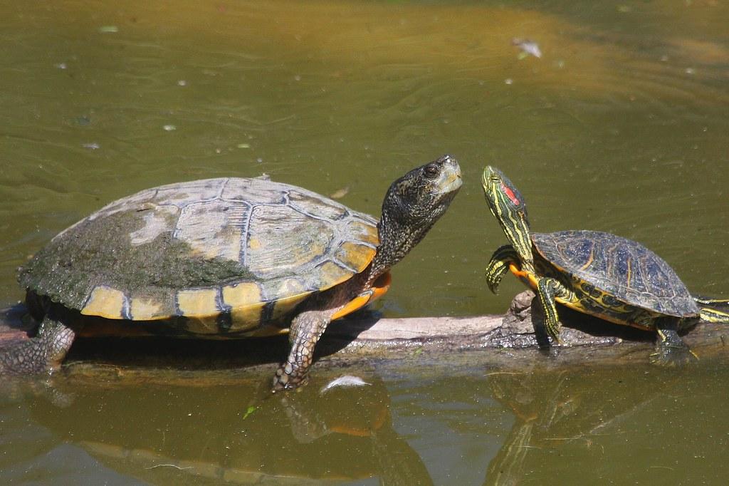 Зеленая черепаха: где обитает, чем питается, сколько живет