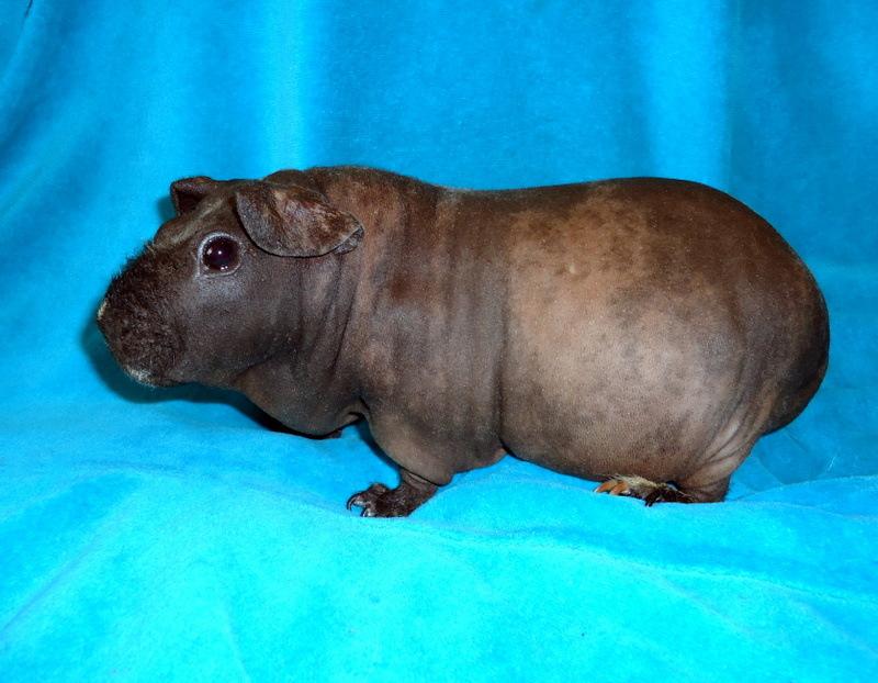 Морская свинка скинни: особенности породы и внешний вид, правила содержание, ухада и разведение