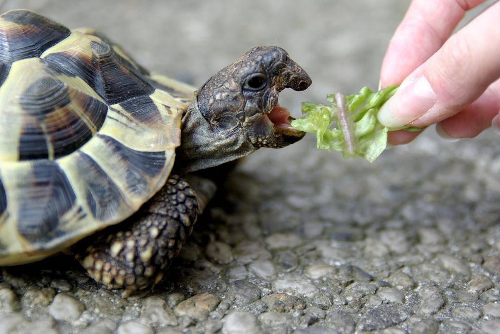 Сухопутные черепахи: разновидности и особенности содержания, чем и как кормить питомца в домашних условиях
