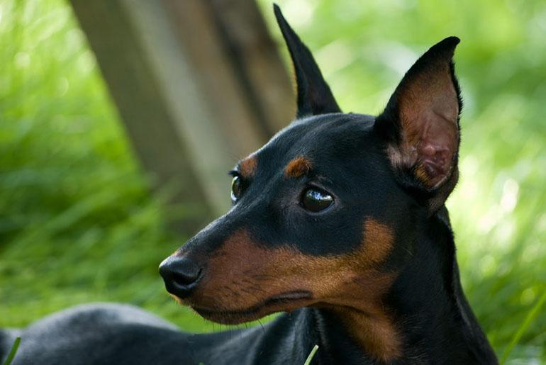 Цвергпинчер карликовый пинчер или мини доберман фото, характеристики породы и описание, купить щенка цена, отзывы