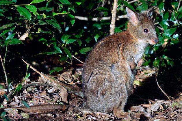 Сумчатые | описания и фото животных | некоммерческий учебно-познавательный интернет-портал зоогалактика