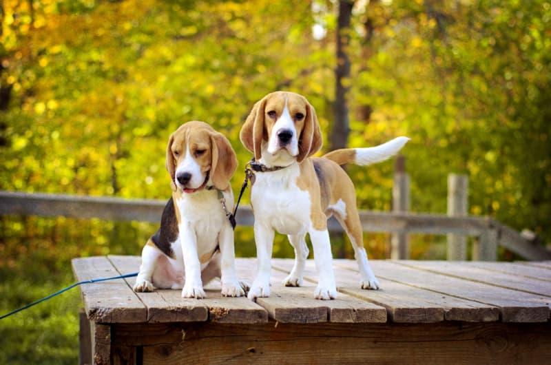 11 лучших пород собак для спокойных людей